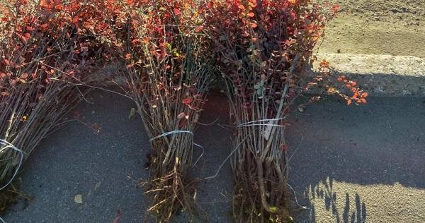 барбарис тунберга декоративные деревья и кустарники