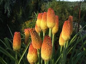 книфофия выращивание из семян в домашних условиях