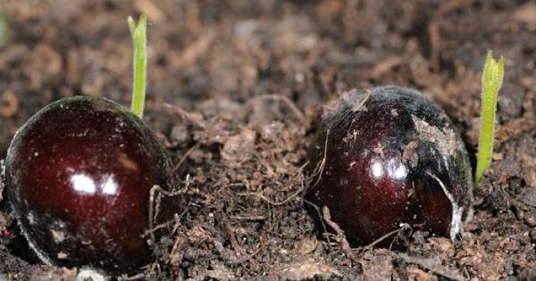 лонган выращивание из косточки в домашних условиях