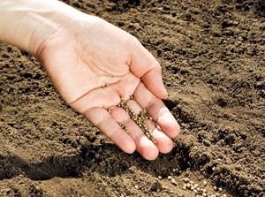 трава камнеломка