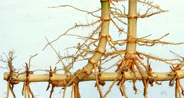 бамбук комнатный размножение