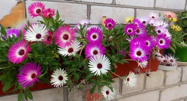 мезембриантемум фото цветов