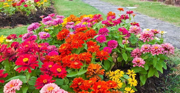 циния фото цветов
