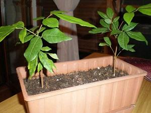 лонган выращивание