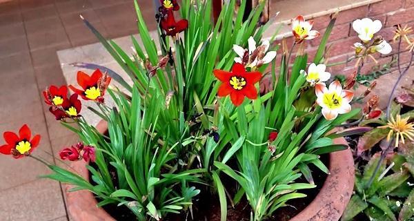 спараксис фото цветов