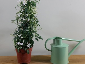 жасмин комнатный цветок уход виды фото
