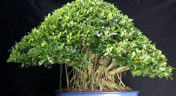 мирт комнатное растение приметы и суеверия