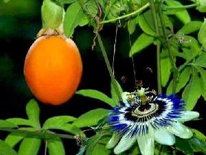 маракуйя плоды