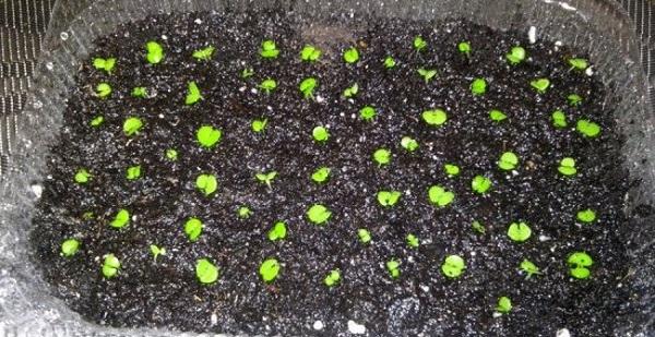 колеус из семян в домашних условиях