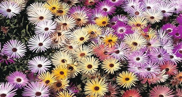 цветы мезембриантемум сорта с фото