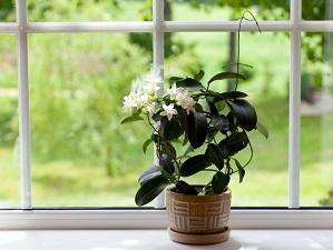 комнатное растение жасмин