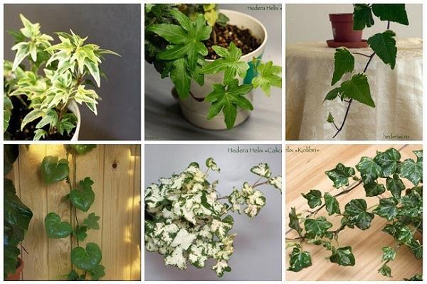 плющ фото комнатное растение