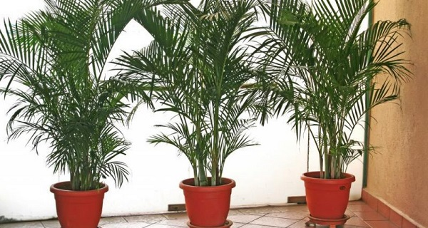 пальма хамедорея фото