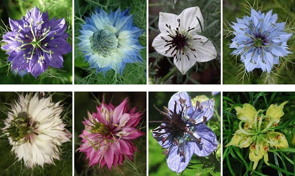 нигелла фото цветов