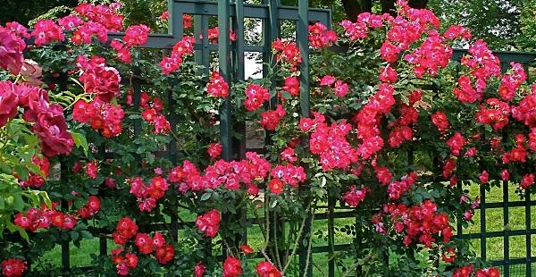 как сажать плетистую розу