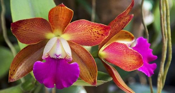 орхидея каттлея купить