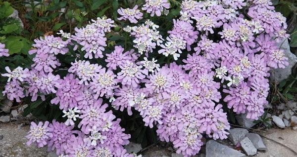 иберис фото цветов