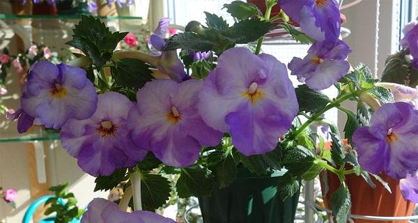 цветок ахименес