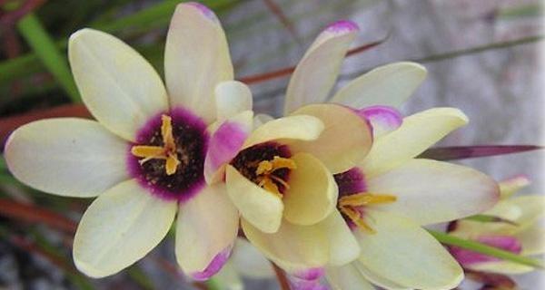 иксия фото цветов