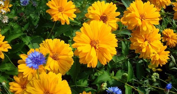 гелиопсис фото цветов