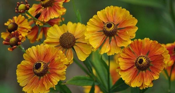 цветы гелениум посадка и уход фото