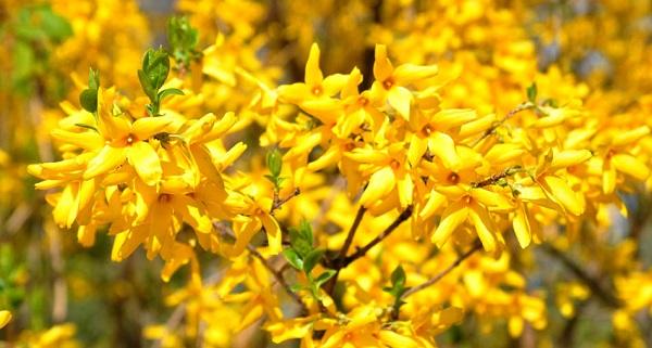 желтый кустарник форзиция