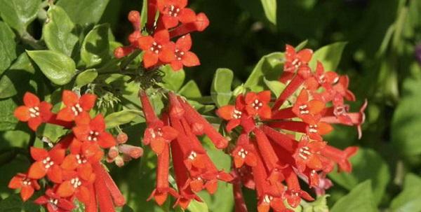 бувардия цветок уход