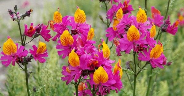 схизантус фото цветов