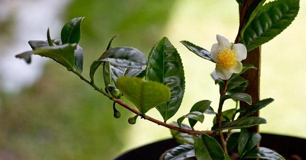 камелия цветок уход в домашних условиях