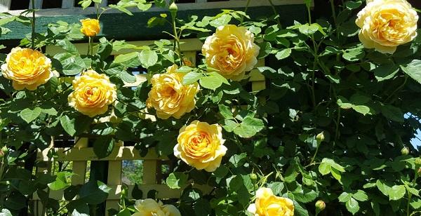 арка для плетистой розы