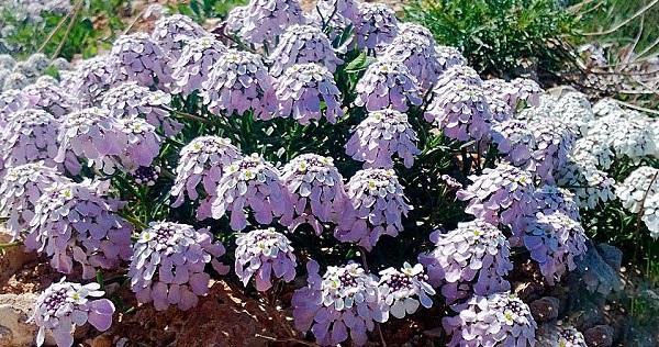 иберис зонтичный выращивание из семян фото