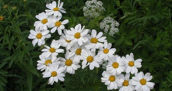 пиретрум фото цветов