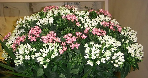 цветущие комнатные цветы фото