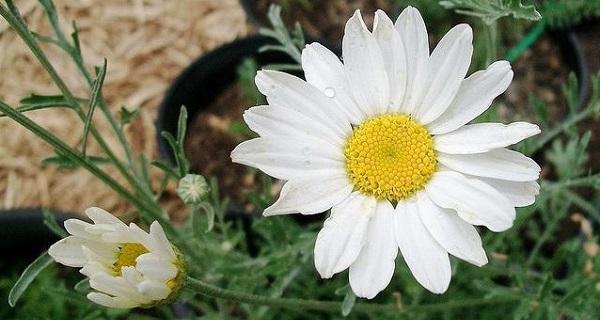 пиретрум цветы