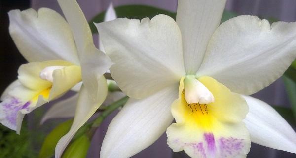 каттлея цветок