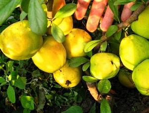 айва японская плоды