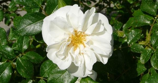 роза фейри тейл почвопокровная