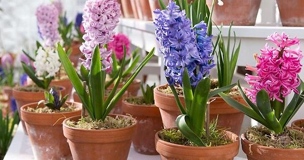 неприхотливые комнатные цветы цветущие