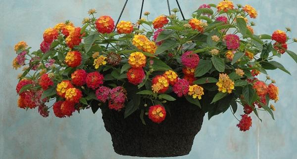 комнатный цветок лантана