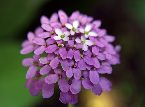 цветы иберис посадка и уход фото