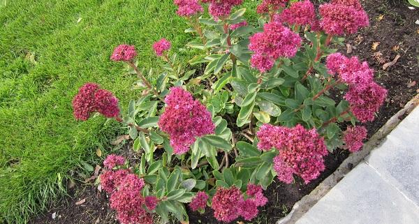 седум растение