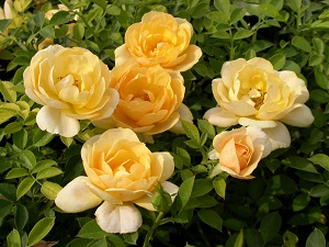 роза почвопокровная эмбер виэл