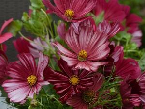 цветы космея посадка
