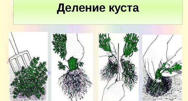 цветы иберис