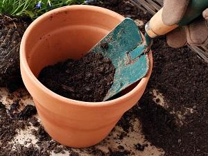 выращивание адиантума