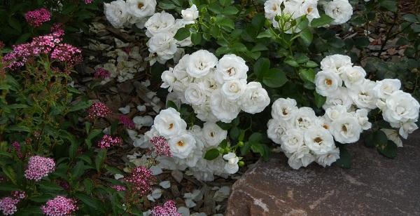 почвопокровные розы сорта фото с названиями