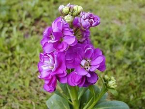 цветы маттиола