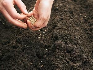 иберис выращивание из семян когда сажать