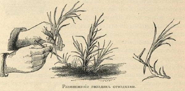 турецкая гвоздика многолетняя
