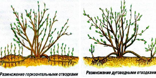 миндаль кустарник
